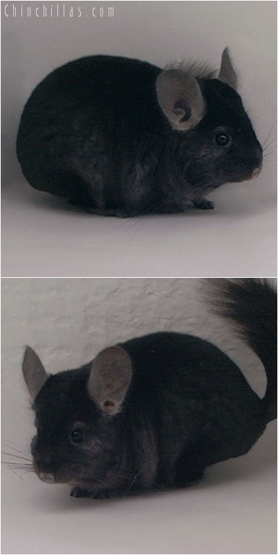 5125 Show Quality Ebony ( Violet Carrier ) Male Chinchilla