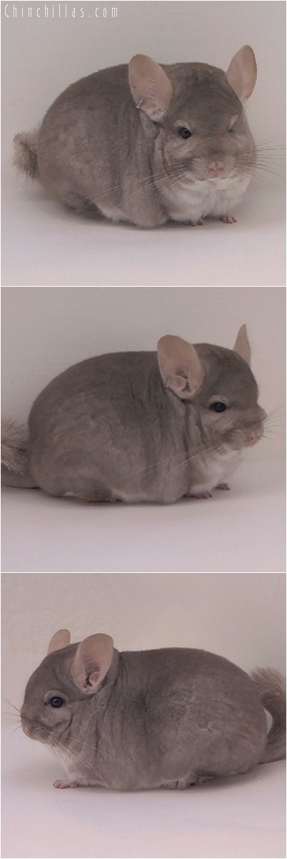 5104 Blocky Herd Improvement Quality Beige Male Chinchilla