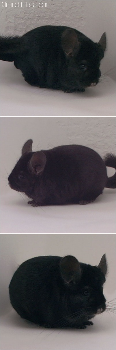 5129 Show Quality Extra Dark Ebony Female Chinchilla