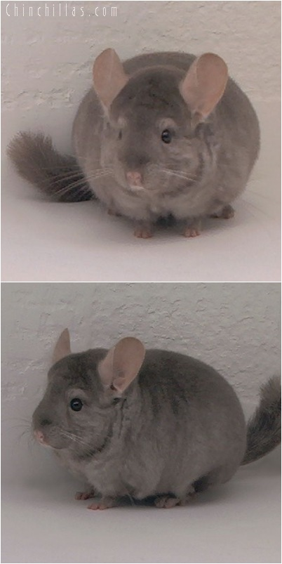 5135 Herd Improvement Quality Tan Male Chinchilla