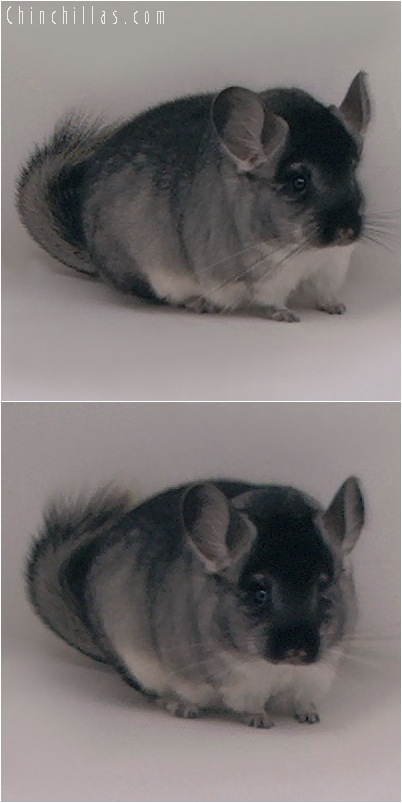 5138 Show Quality Black Velvet ( Sapphire Carrier ) Female Chinchilla