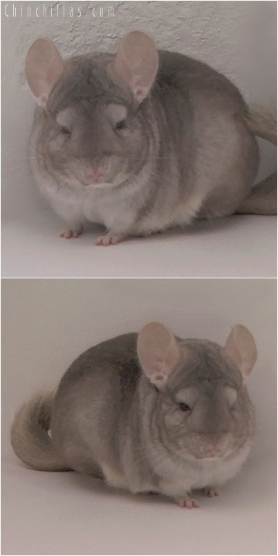 5094 Show Quality Beige Male Chinchilla