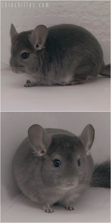 5133 Herd Improvement Quality Violet ( Ebony Carrier ) Male Chinchilla