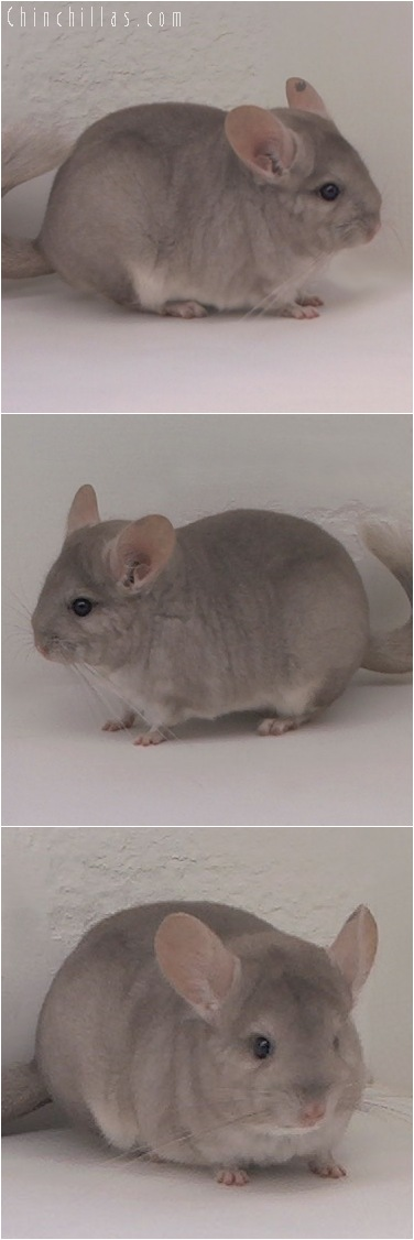 5143 Show Quality Beige ( Violet Carrier ) Female Chinchilla