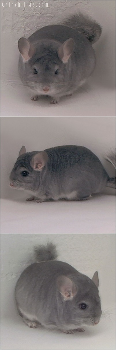 5147 Premium Production Quality Blocky Sapphire Female Chinchilla