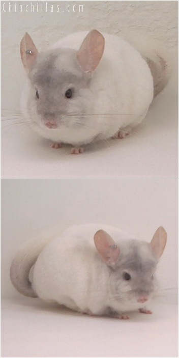 5146 Show Quality Pink White Female Chinchilla
