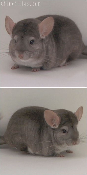 5142 Herd Improvement Quality Beige Male Chinchilla