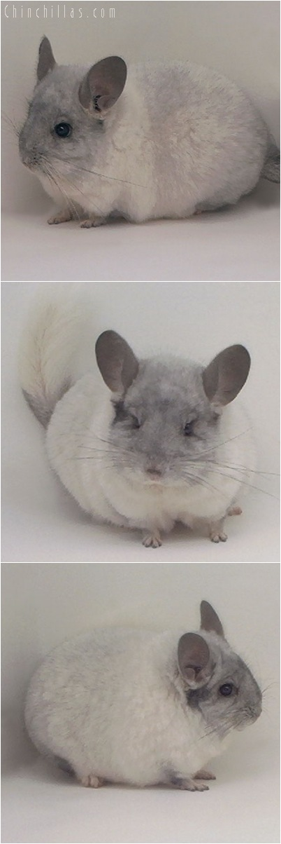 5075 Silver Mosaic Male Chinchilla