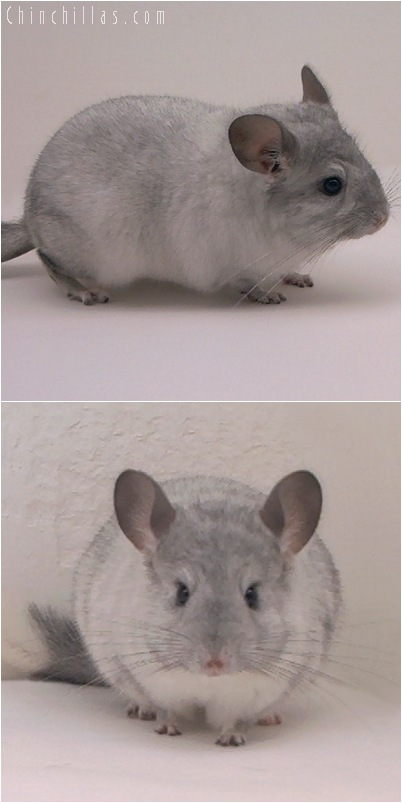 5153 Silver Mosaic ( Sapphire Carrier ) Female Chinchilla