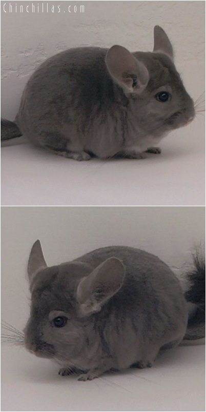 5155 Show Quality Wrap-around Violet Female Chinchilla