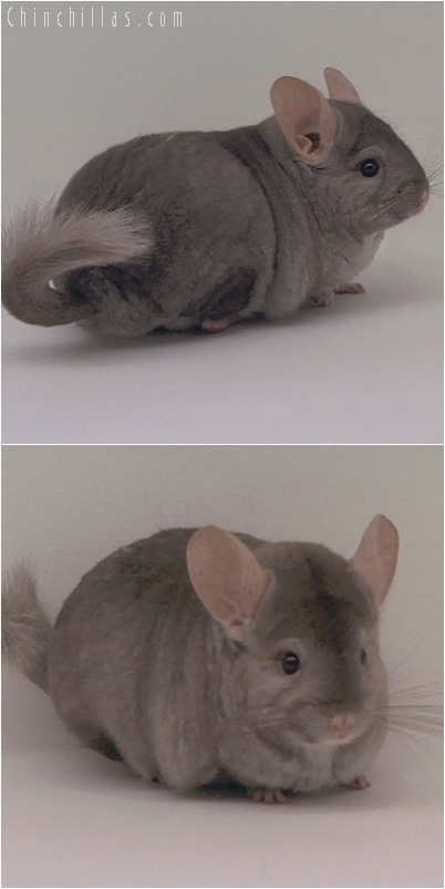 5080 Light Tan Female Chinchilla