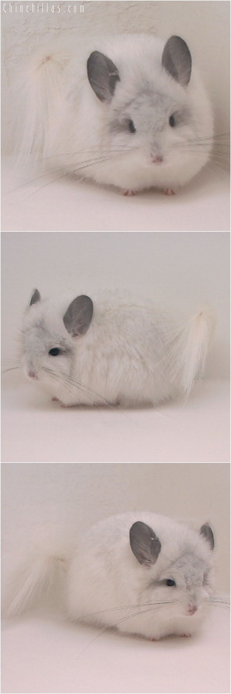 5152 Rare White Royal Persian Angora Female Chinchilla