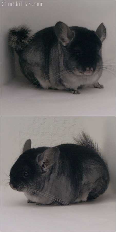 5156 Herd Improvement Quality Black Velvet ( Sapphire Carrier ) Male Chinchilla