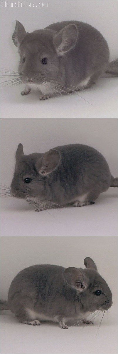 5154 Premium Production Quality Violet ( Ebony Carrier ) Female Chinchilla