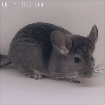 5149 Show Quality Violet Female Chinchilla