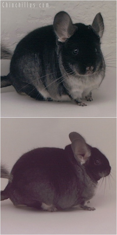 5159 Large Show Quality Black Velvet Male Chinchilla