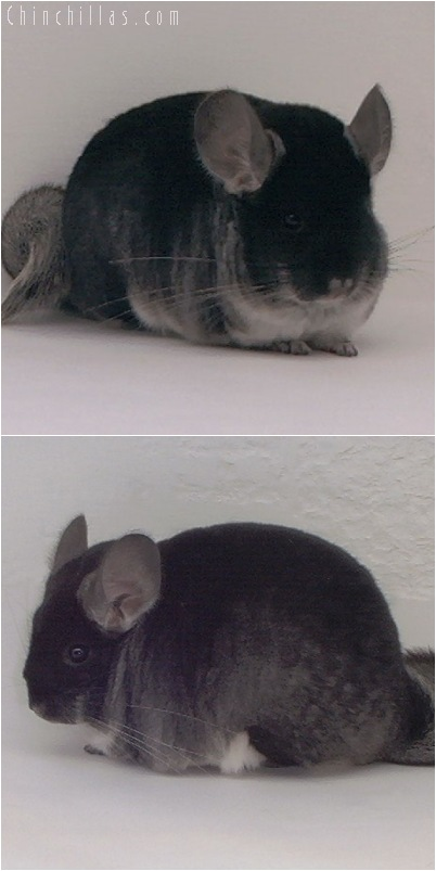 5126 Large Show Quality Black Velvet Female Chinchilla