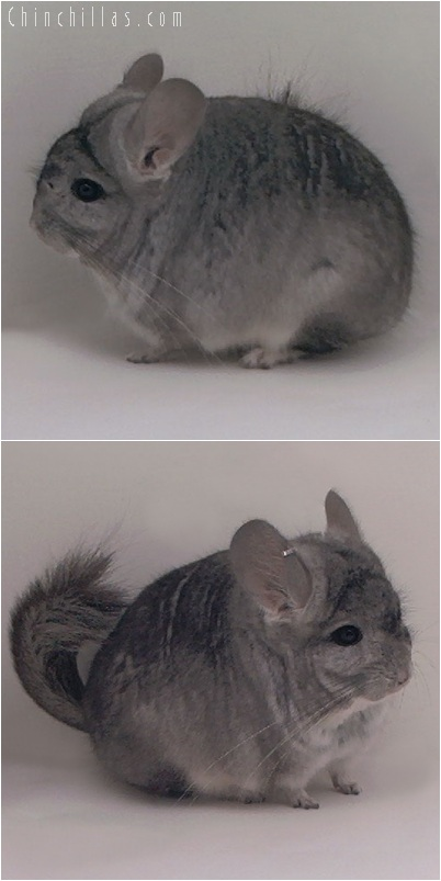 5151 Standard ( Royal Persian Angora Carrier ) Male Chinchilla