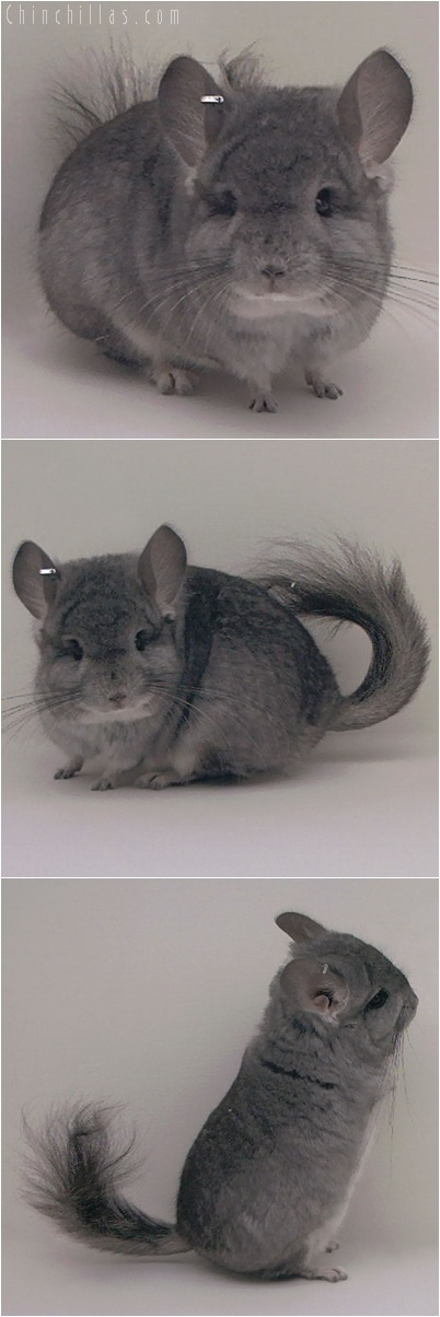 5087 Standard Royal Persian Angora Male Chinchilla