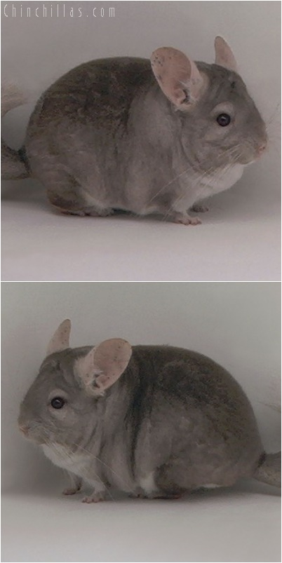 5134 Large Show Quality Beige Male Chinchilla