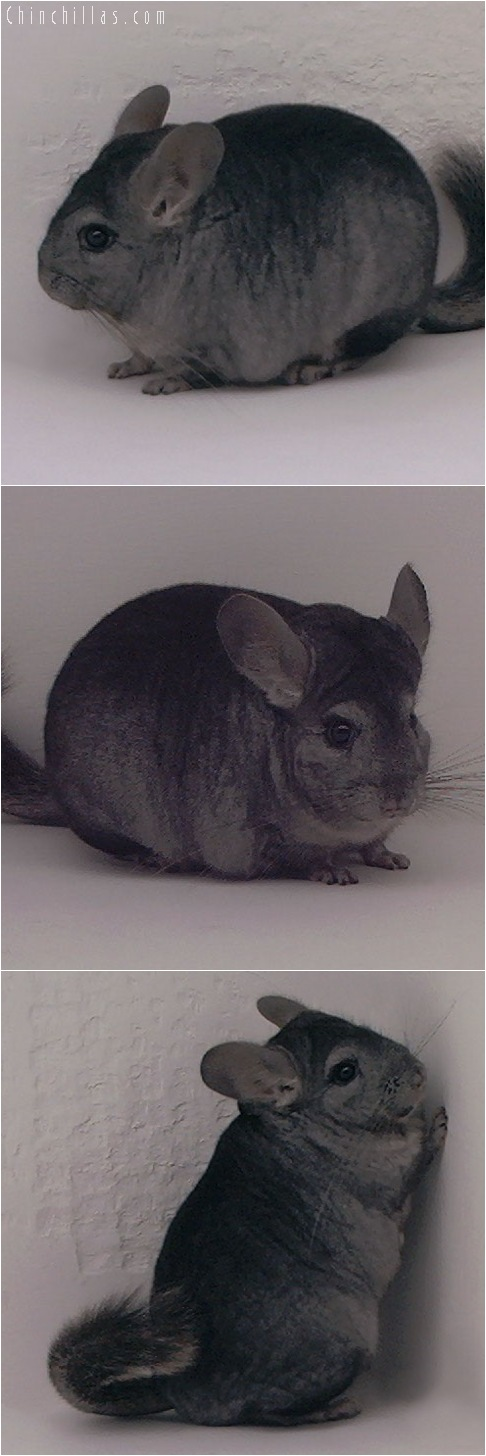 5136 Premium Production Quality Ebony Female Chinchilla