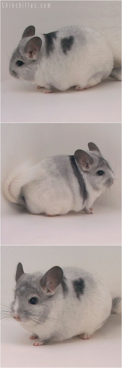 5145 Herd Improvement Quality Blocky Extreme White Mosaic Male Chinchilla