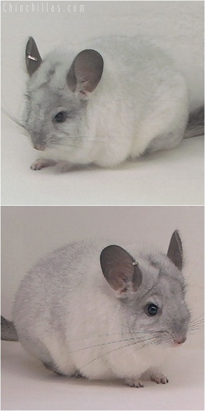 5131 Premium Production Quality White Mosaic Female Chinchilla