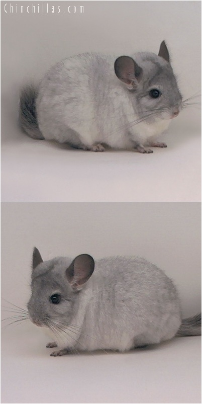 5165 Top Show Quality White Mosaic ( Sapphire Carrier ) Male Chinchilla