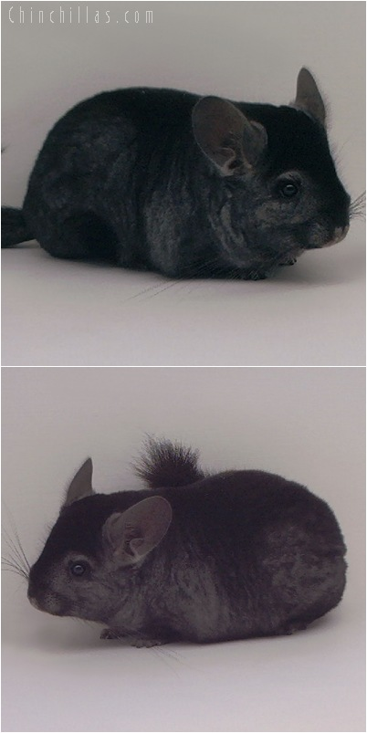 5141 Premium Production Quality Ebony Female Chinchilla