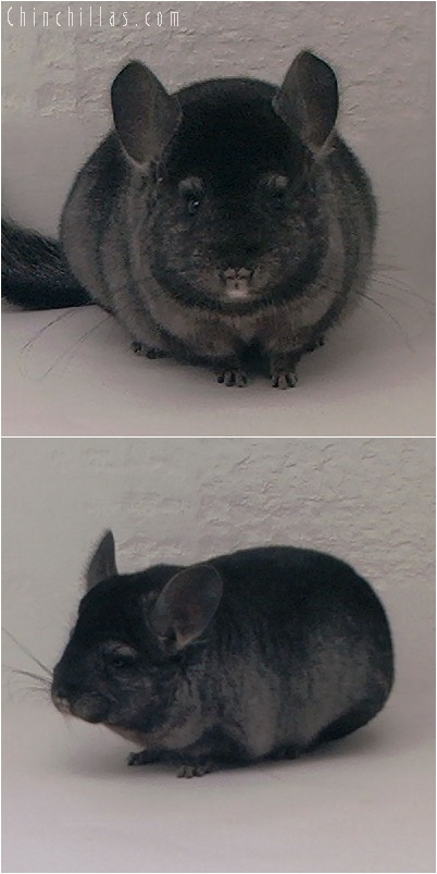 5172 Premium Production Quality Ebony Female Chinchilla