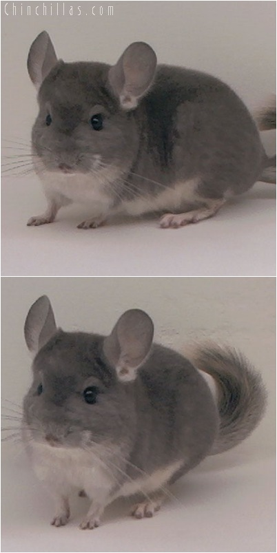 5115 Intermediate Show Quality Violet Female Chinchilla