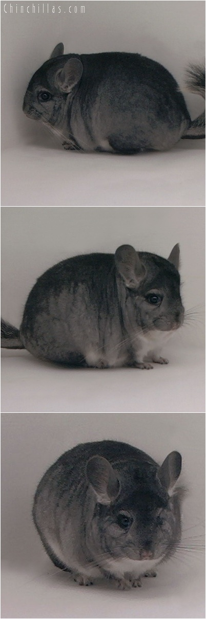 5171 Blocky Premium Production Quality Standard Female Chinchilla
