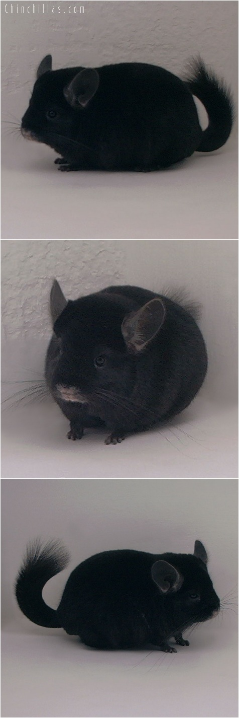 5200 Herd Improvement Quality Ebony Male Chinchilla