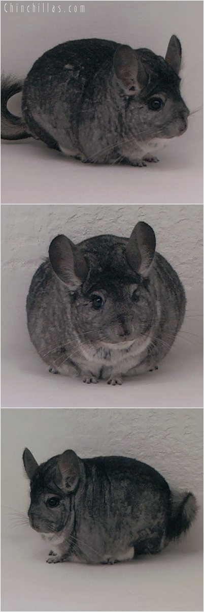 5199 Extra Extra Large Show Quality Standard Male Chinchilla
