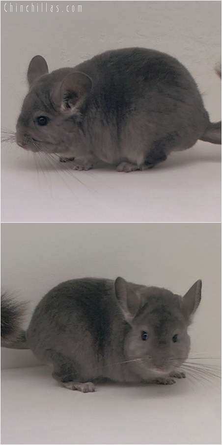 5197 Show Quality Violet Female Chinchilla