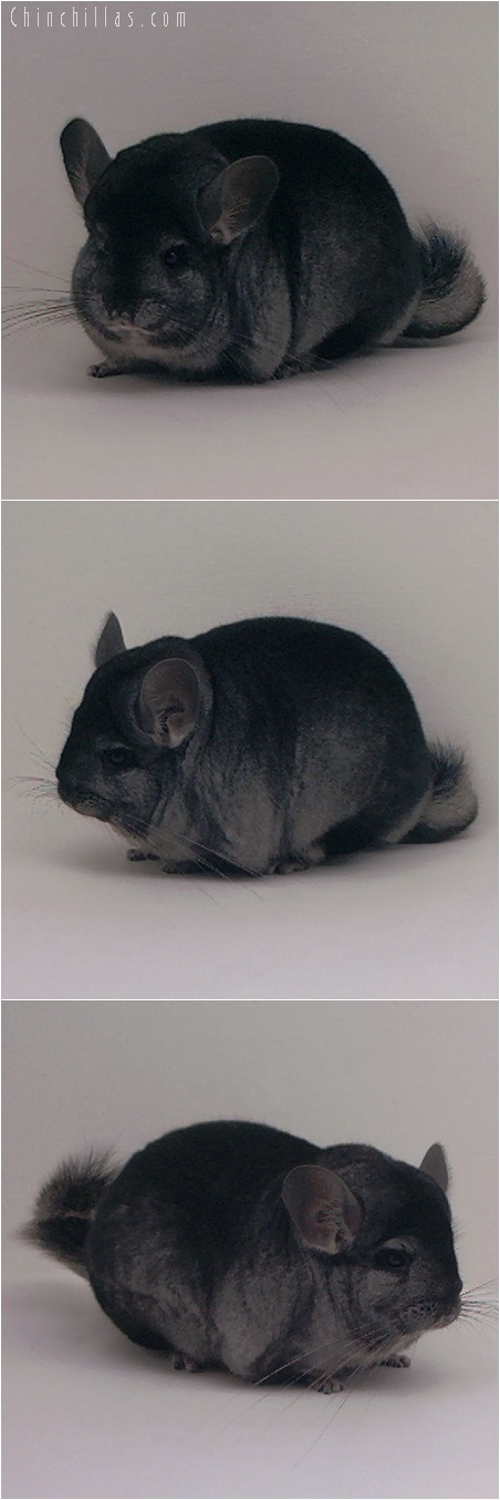 5186 Premium Production Quality Ebony Female Chinchilla