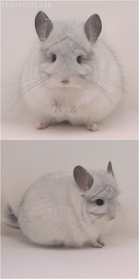 5089 White Mosaic Royal Persian Angora Male Chinchilla
