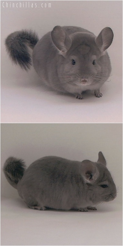 5190 Top Show Quality Violet ( Ebony Carrier ) Male Chinchilla