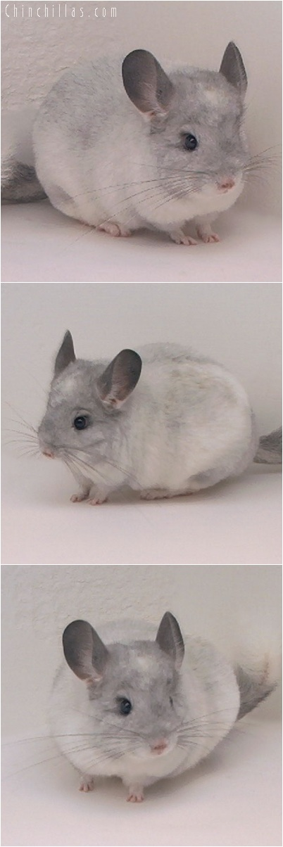 5177 Intermediate Show Quality White Mosaic Female Chinchilla