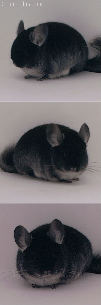 5192 Brevi - type Exceptional Quality Black Velvet Male Chinchilla