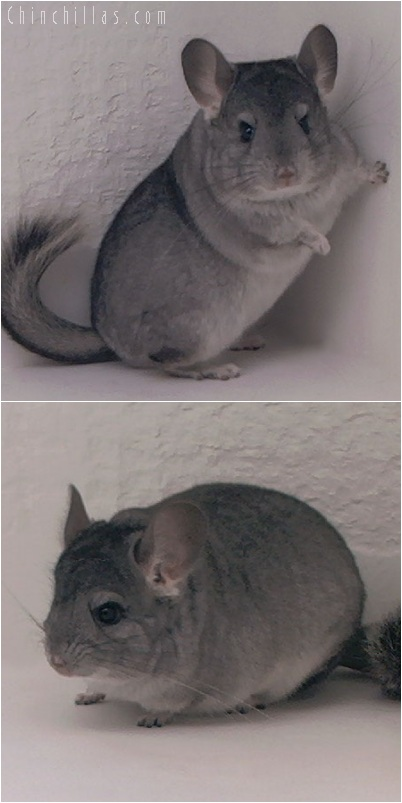 5193 Premium Production Quality Standard ( Sapphire Carrier ) Female Chinchilla