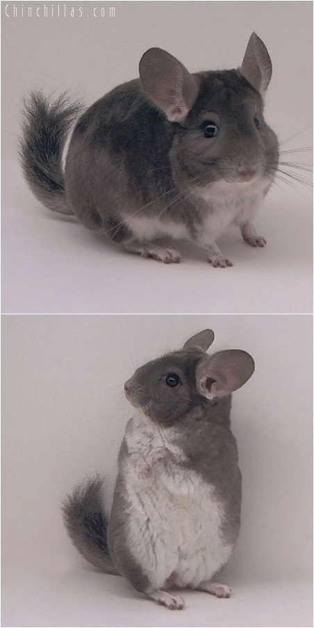 5183 Violet Male Chinchilla