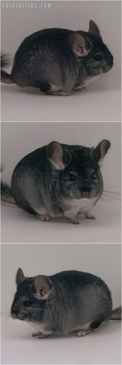5195 Brevi - type Show Quality Standard Female Chinchilla