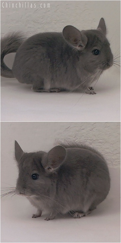 5164 Show Quality Violet ( Ebony Carrier ) Male Chinchilla