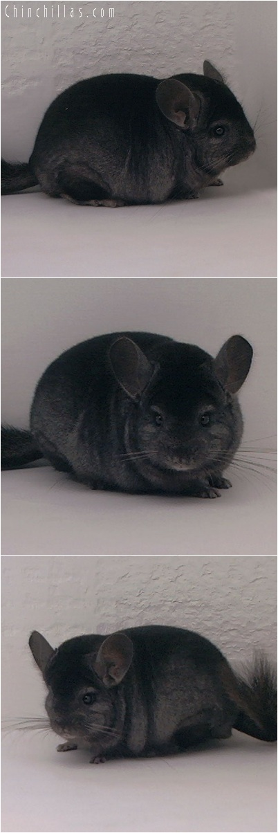 5207 Show Quality Ebony Male Chinchilla