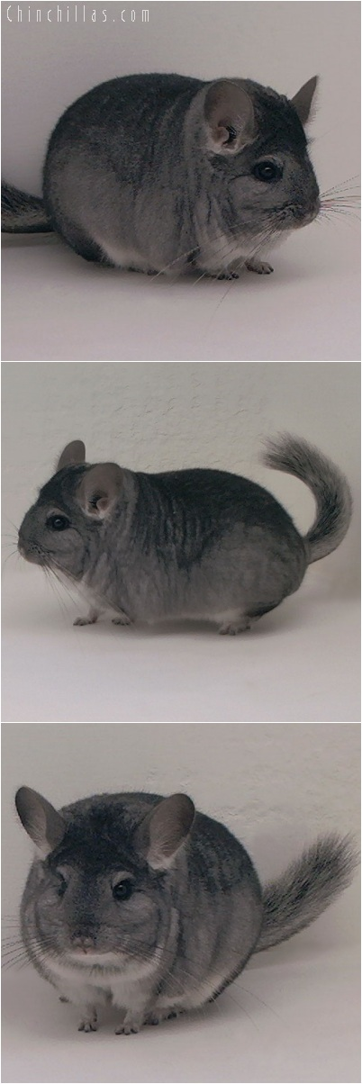 5206 Premium Production Quality Standard Female Chinchilla