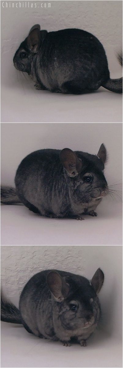 5208 Large Show Quality Ebony Female Chinchilla
