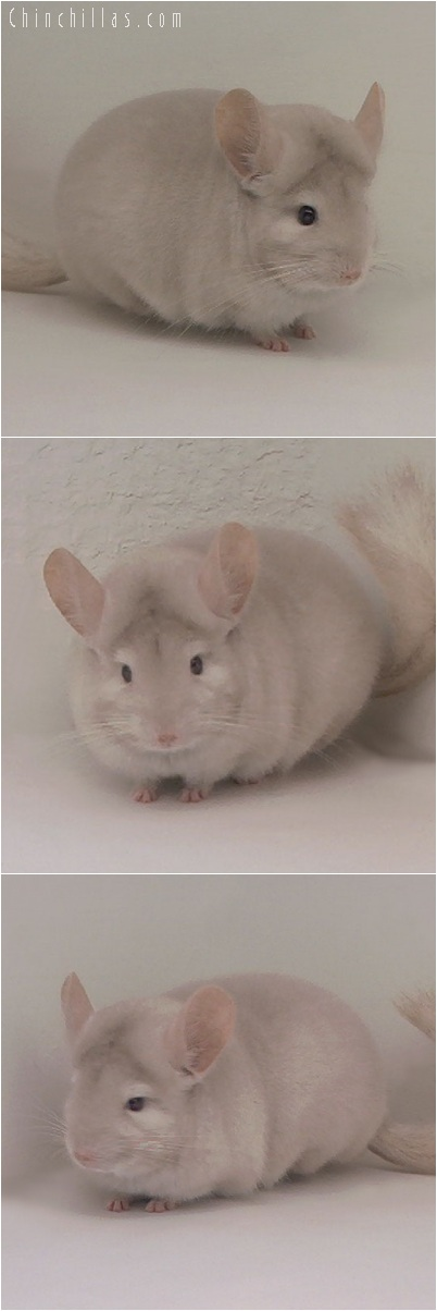 5212 Herd Improvement Quality Homozygous Beige Male Chinchilla