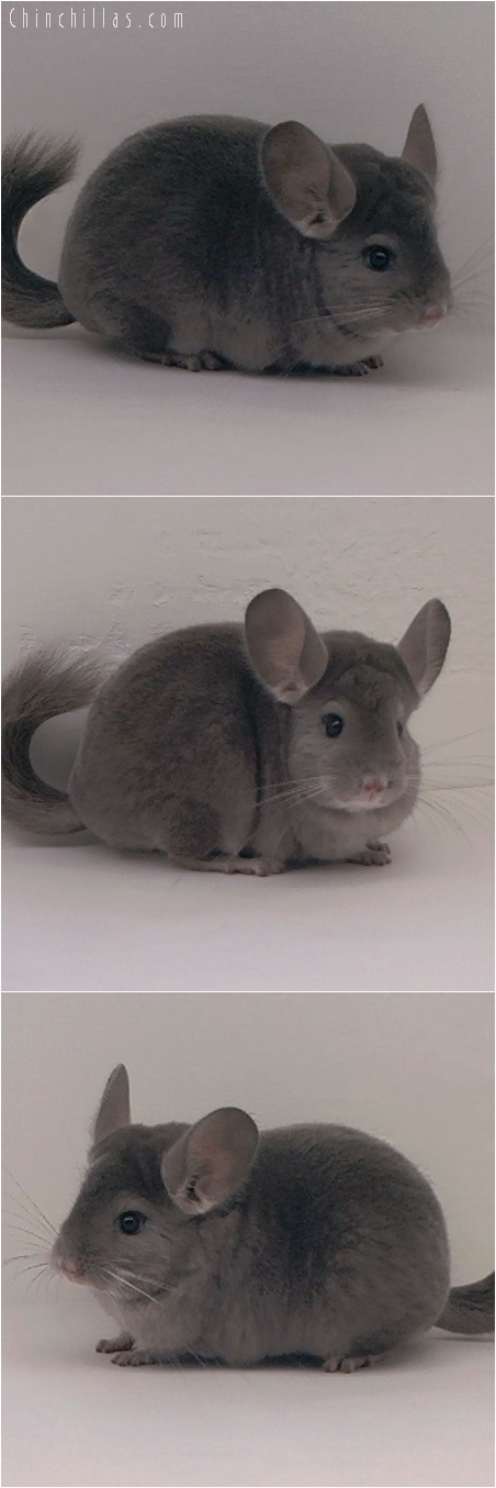 5210 Premium Production Quality Violet ( Ebony Carrier ) Female Chinchilla