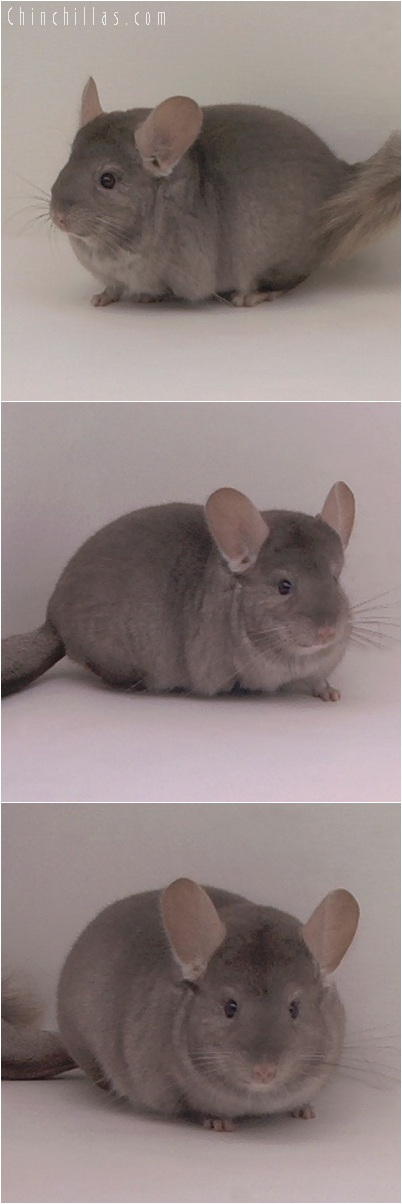 5213 Premium Production Quality Tan Female Chinchilla